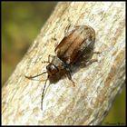 6 mm Käfer