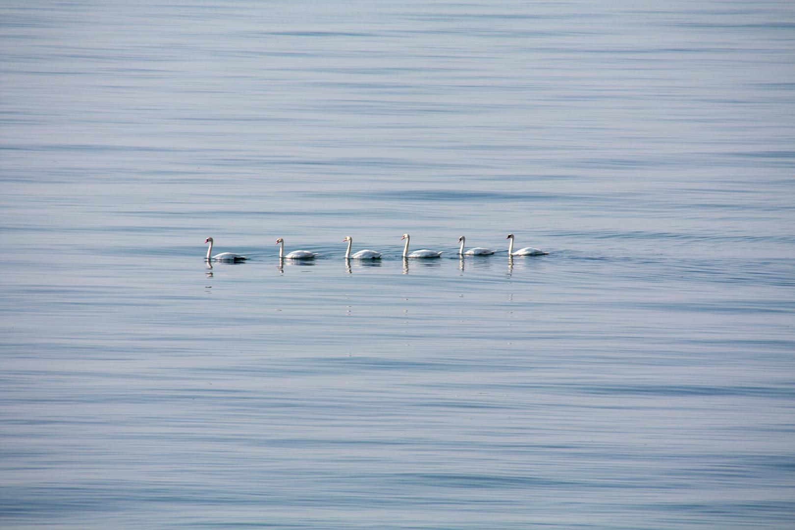 6 Schwäne auf der Stillen Ostsee bei Nienhagen