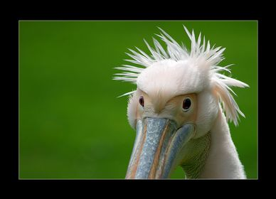 Pelicans, Gunnets,Cormorans