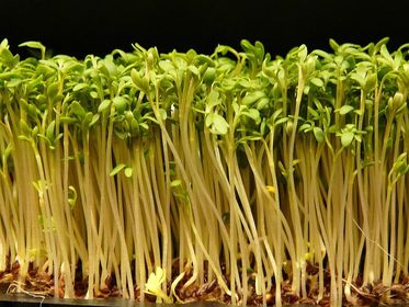 Küchenkrautpflanzen