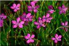 Heidenelke     Dianthus deltoides von Anneli Krämer