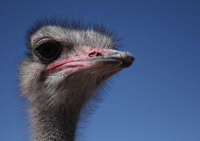 Strauß, Emu, Nandu