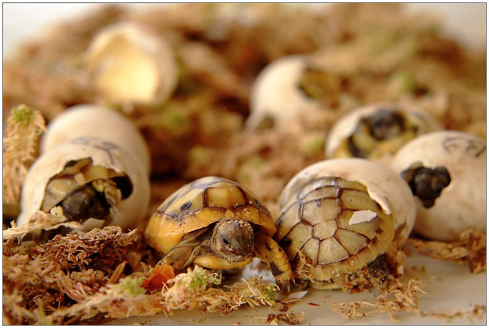 7  griechische Landschildkröten ...