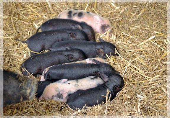 7 Tage alte Zwergschweine