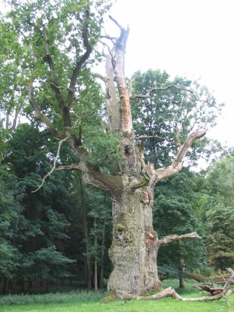 700 jährige Eiche