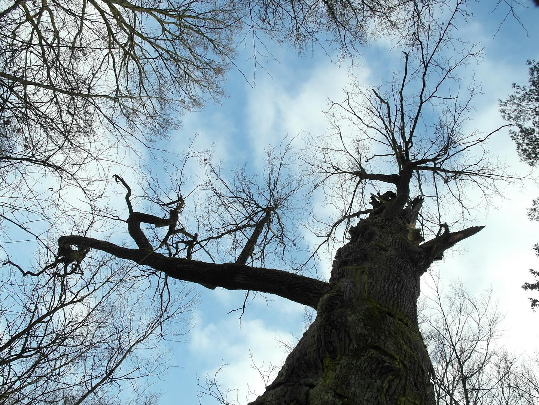 700 Jahre alte Eiche in der Dresdner Heide