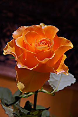 727 orange Rose