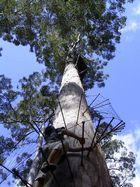 78 Meter hoher Karri- Eukalyptus in den Wäldern von Pemberton