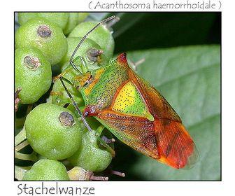 Wanzen, Zikaden & Blattläuse