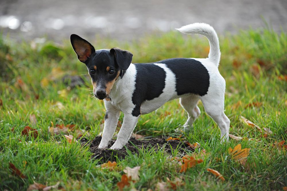 """8 Monate alt Jack Russell Terrier """"kiwi"""""""