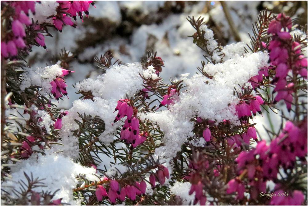 80-13 Schneeheide