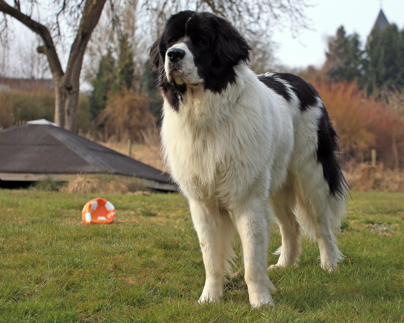 80 cm Traumhund