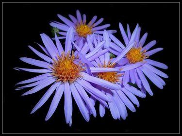 Astern u.a. Korbblütler