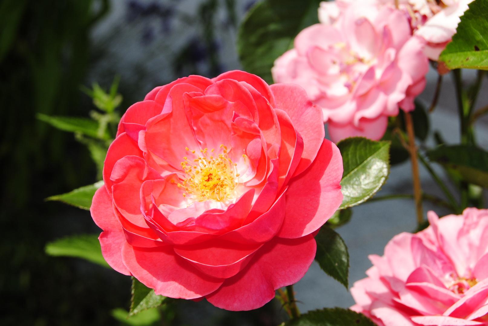 ♣ Red ♥ Rose ♣