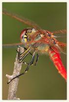 A 5 1/2 legged Dragonfly