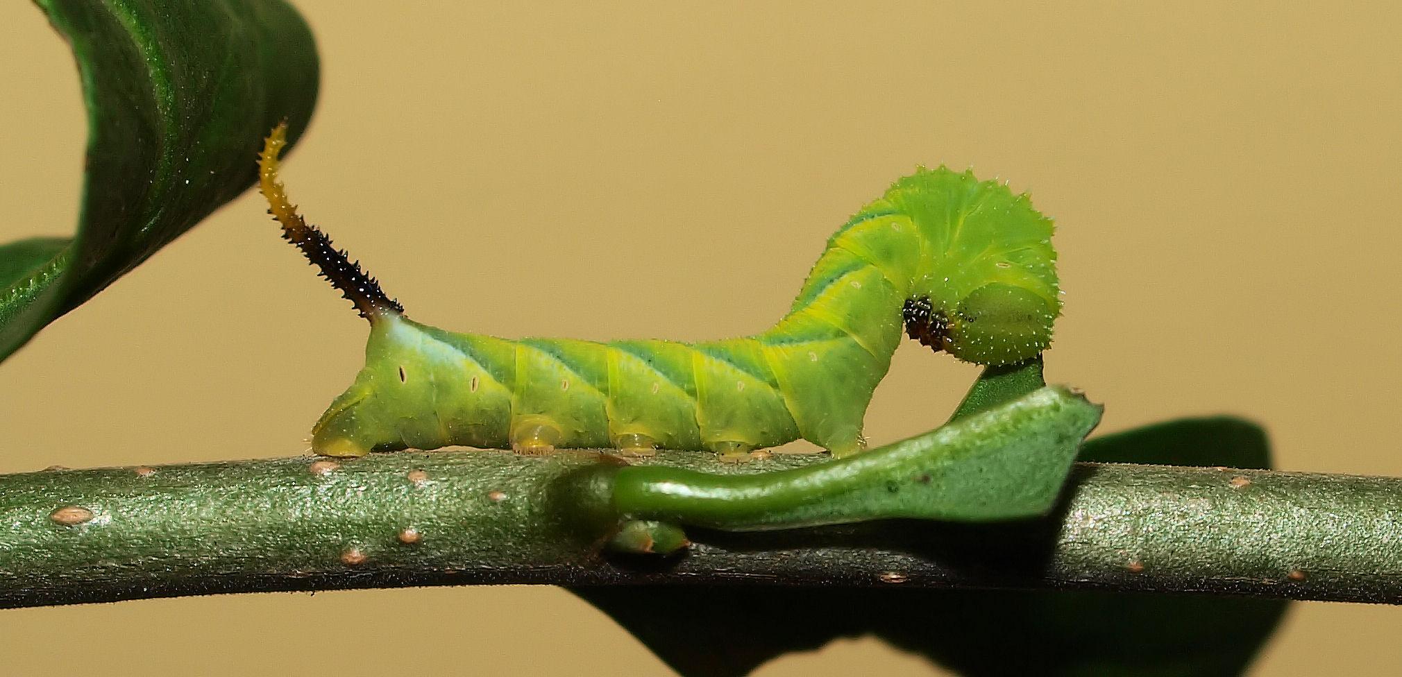 A. atropos