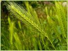 A Barley