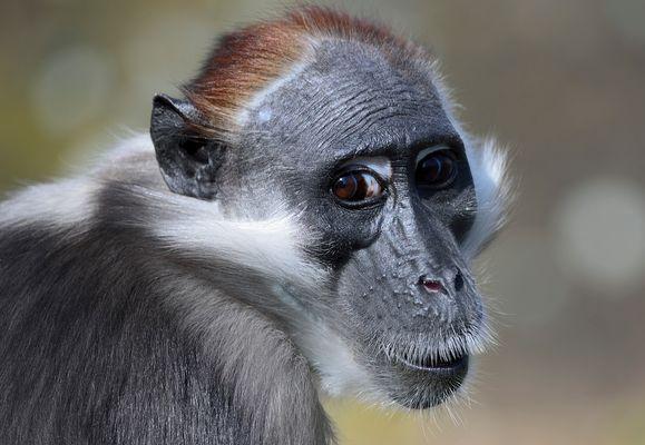 A Beautiful Ape
