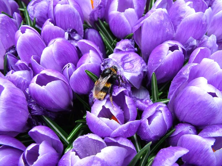 A bee on some Tulips