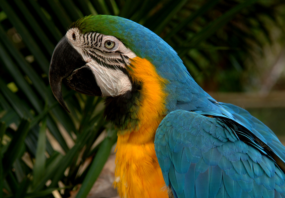 A Blue Jungle Macaw, Dedicate To Michael Henderson Our FC Macaw Man!!
