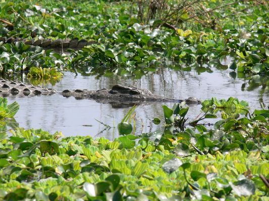 a croco on the shiver river