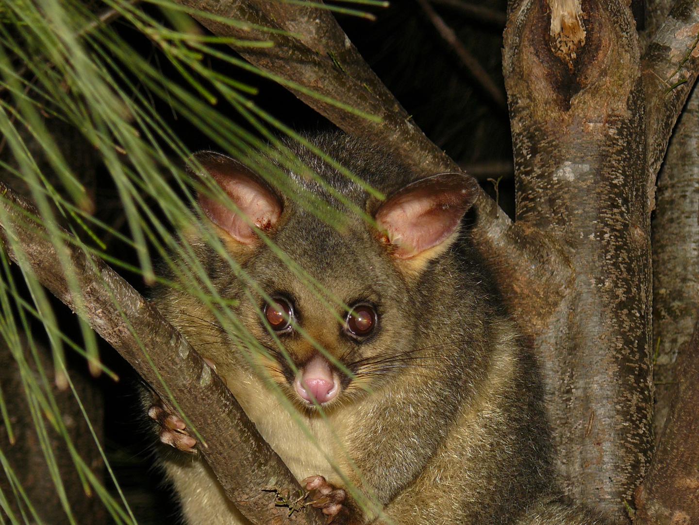 a cute possum...