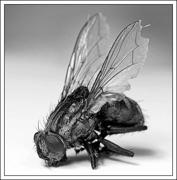 a dead fly