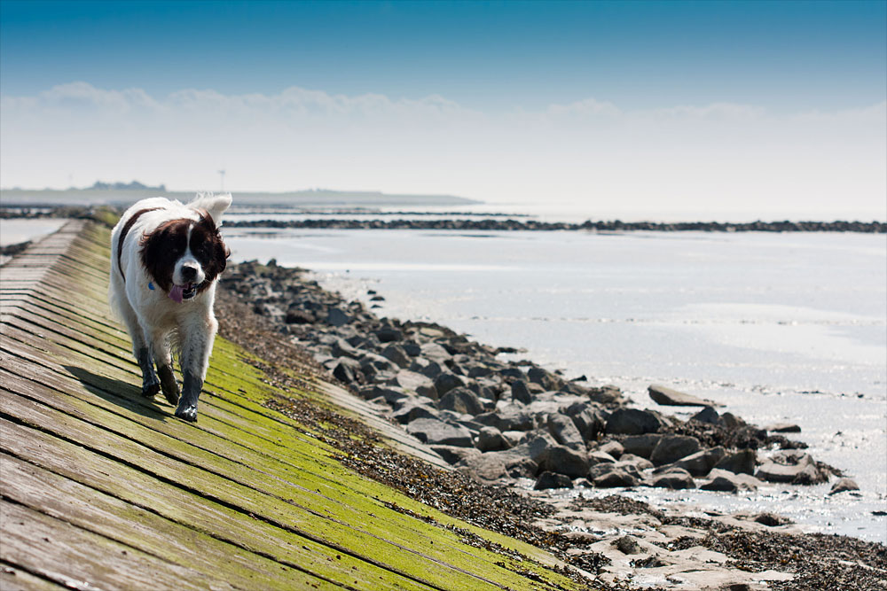 A Dog at the Norddeich
