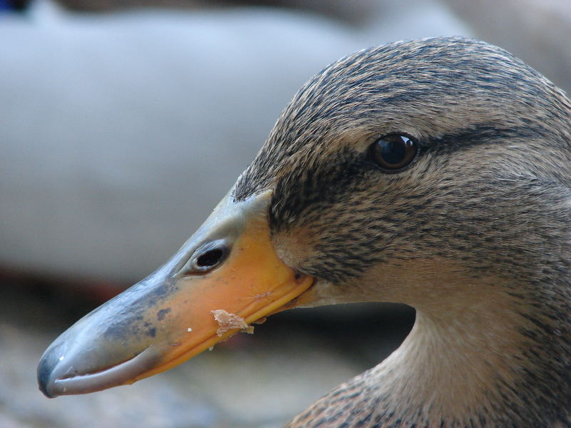 A female duck