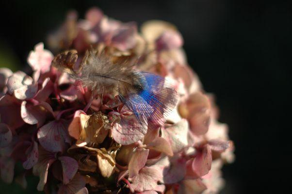 A fleur d'hortensia