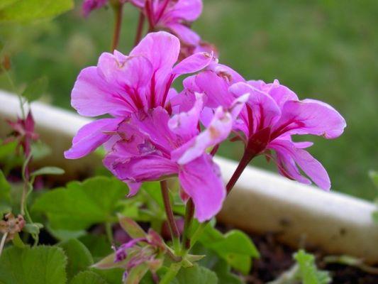 A Flower of my garden