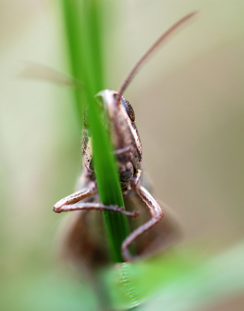 A grasshopper - Can you see me?