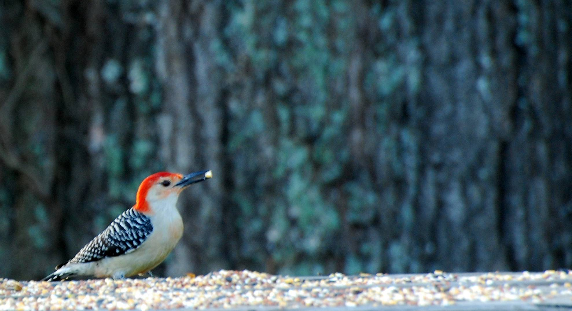 A Guest (Red Bellied Woodpecker. Male)