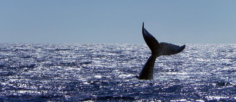 a humpback whale's fluke