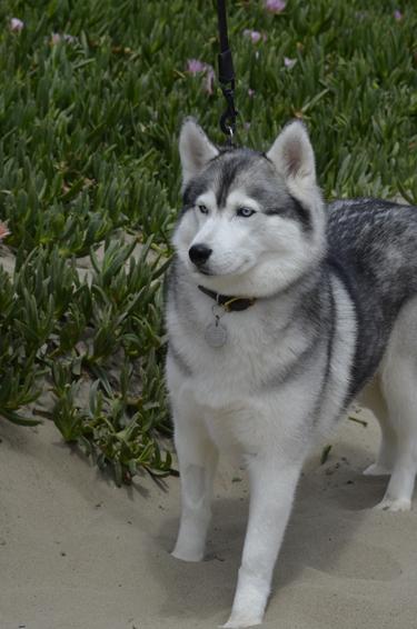 A husky I shot while driving up the coast of CA