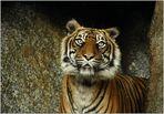 """(A) Ich bin ein Berliner """"Sumatra-Tiger"""" ..."""