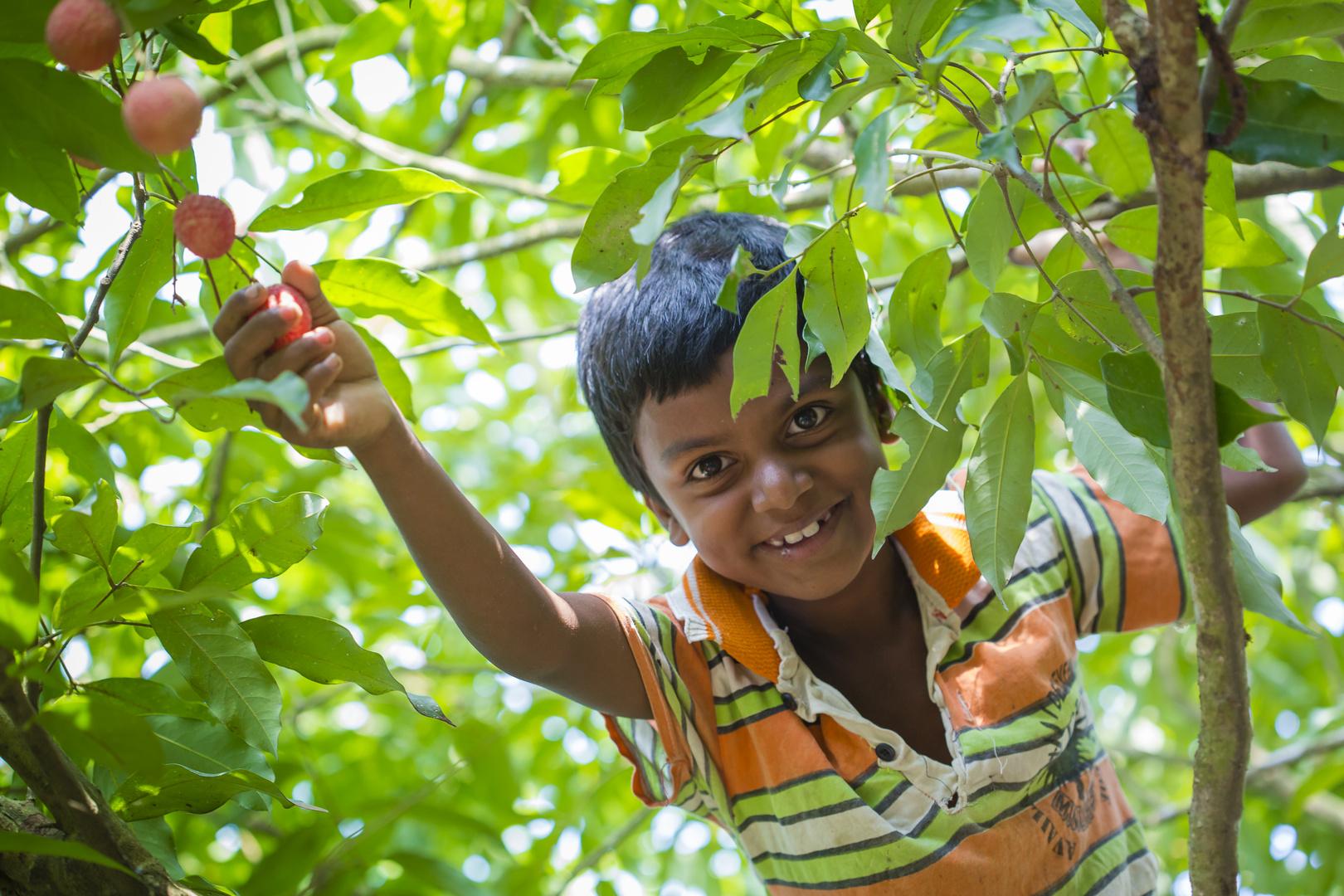 A kid plucks lychee.
