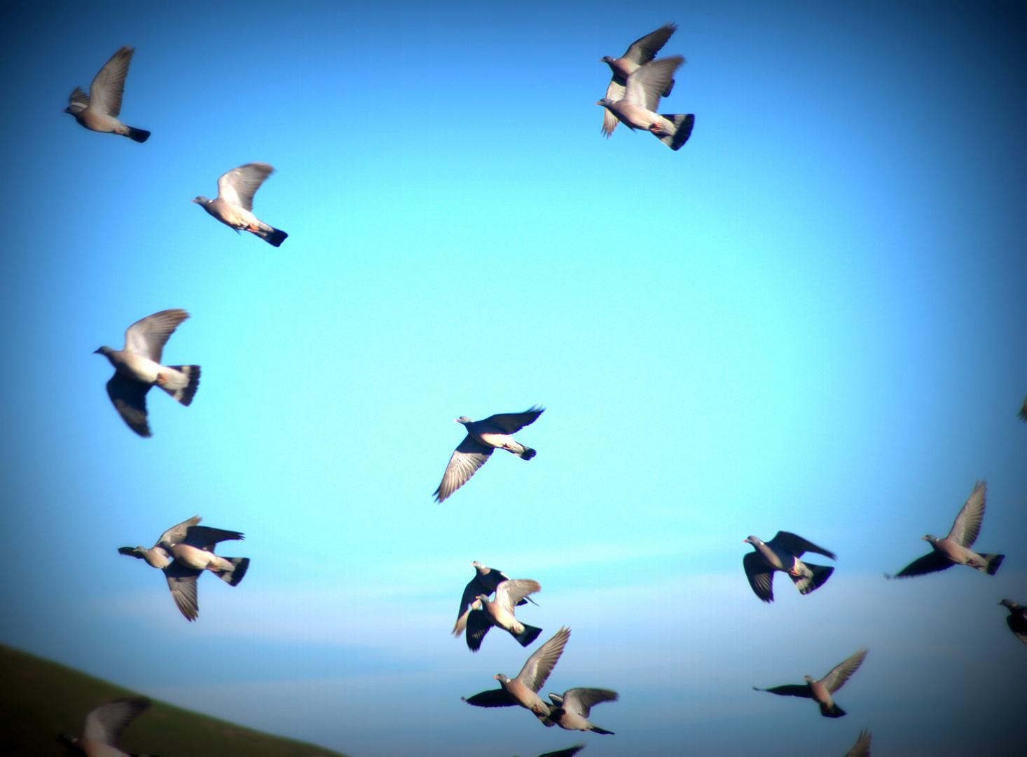 a la caza de la paloma