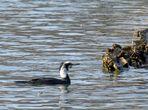 à la demande général: LE cormoran