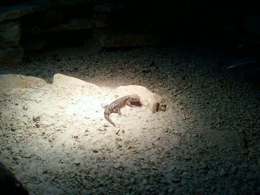 A la différence de l'homme , le lézard est capable de sacrifier sa queue pour sauver sa vie.