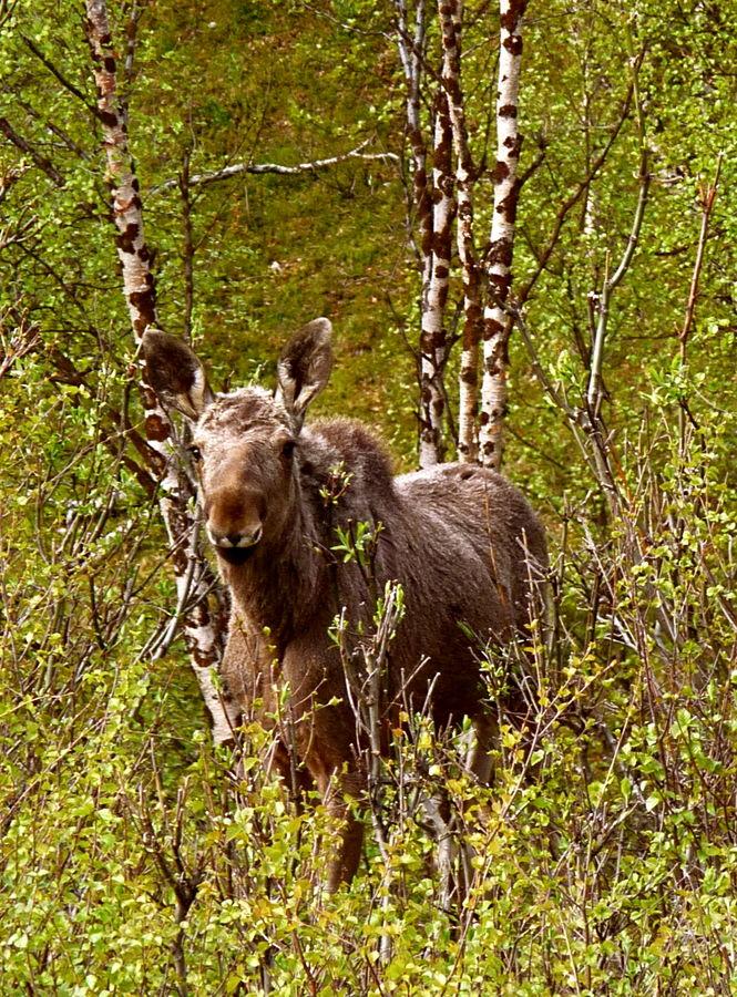 A la lisière du bois, dommage sans ses bois (Laponie norvégienne)