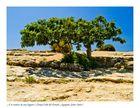 A la sombra de una higuera ( Parque Valle del Templo Agrigento Sicilia Italia )