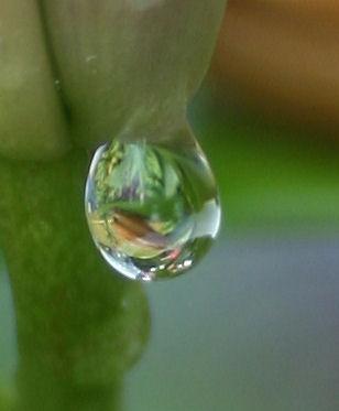 a lilly's tear