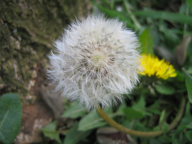 a little dandelion