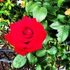 A Little Rose