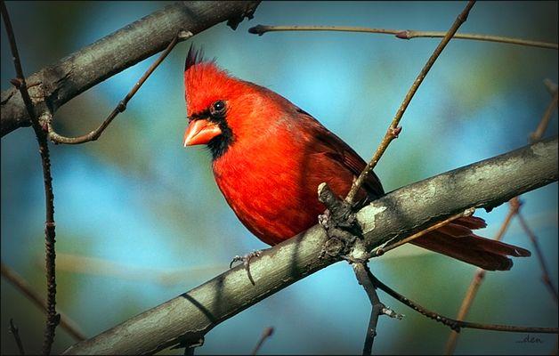 A Male Cardinal......
