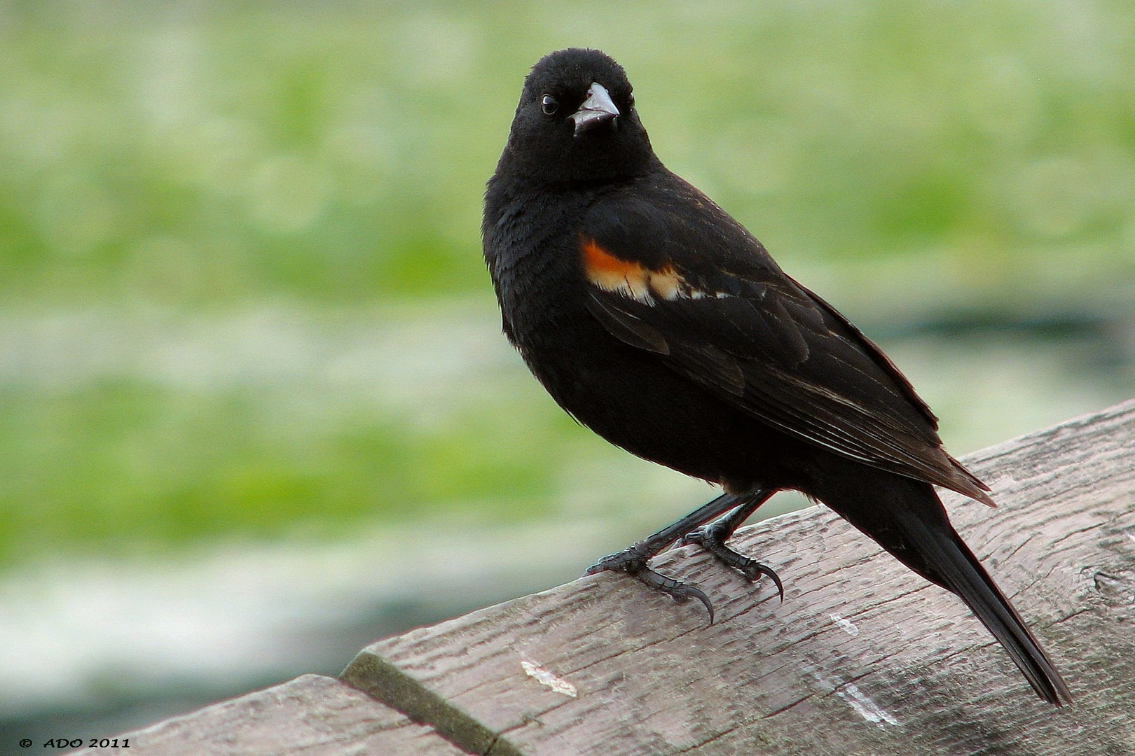 A Male Red-Winged Blackbrid