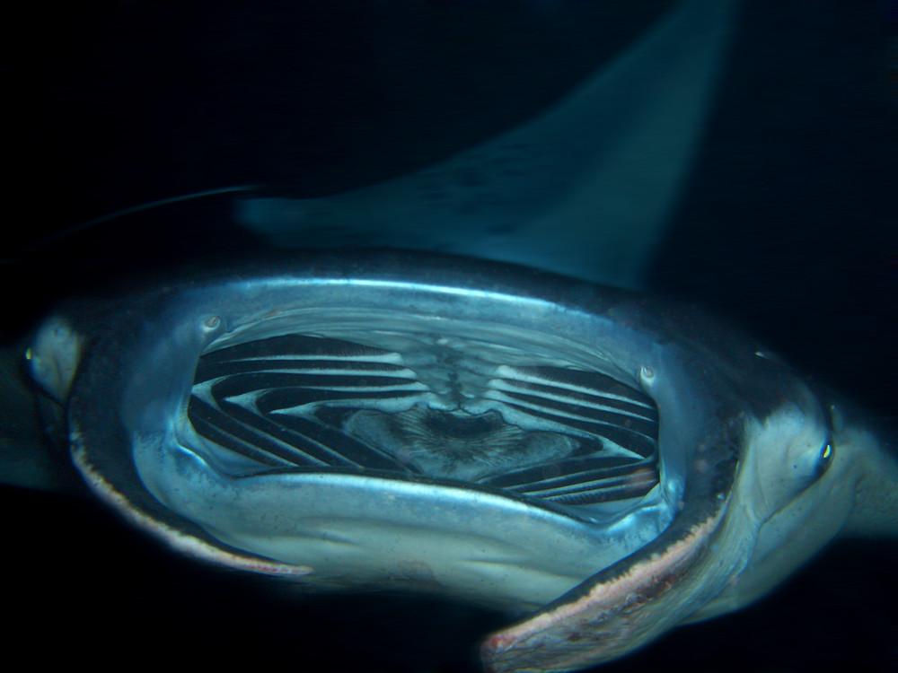 a mantas mouth