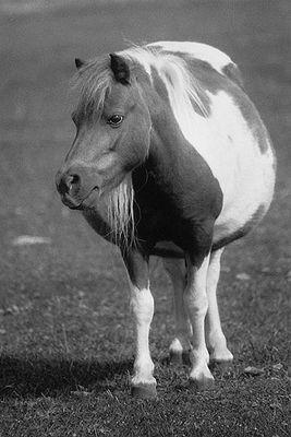 A mare of shetland pony