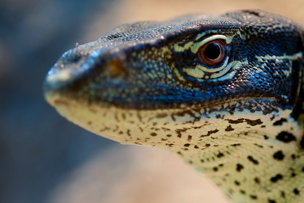 A monitor lizard to pet